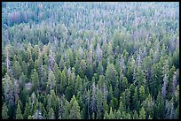 Forest tree tops from Dome Rock. Giant Sequoia National Monument, Sequoia National Forest, California, USA ( color)