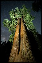 Twin sequoia trees and starry sky, Long Meadow Grove. Giant Sequoia National Monument, Sequoia National Forest, California, USA ( color)