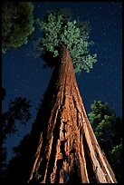 Giant sequoia trees at night, Long Meadow Grove. Giant Sequoia National Monument, Sequoia National Forest, California, USA ( color)