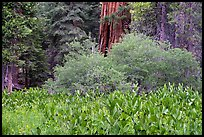 Corn lilly and Giant Sequoia, Long Meadow Grove. Giant Sequoia National Monument, Sequoia National Forest, California, USA ( )