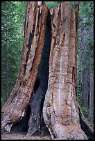 Base of Giant Sequoia tree with fire scar, Long Meadow Grove. Giant Sequoia National Monument, Sequoia National Forest, California, USA ( color)