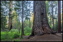 Giant sequoia tree, Long Meadow Grove. Giant Sequoia National Monument, Sequoia National Forest, California, USA ( color)