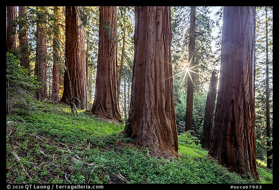 McIntyre Grove and sunstar. Giant Sequoia National Monument, Sequoia National Forest, California, USA (color)
