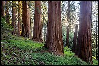 McIntyre Grove and sunstar. Giant Sequoia National Monument, Sequoia National Forest, California, USA ( )
