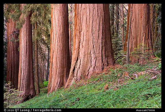 Base of giant sequoias, McIntyre Grove. Giant Sequoia National Monument, Sequoia National Forest, California, USA (color)
