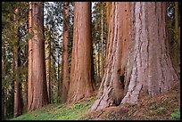 Giant sequoias, McIntyre Grove, twilight. Giant Sequoia National Monument, Sequoia National Forest, California, USA ( )