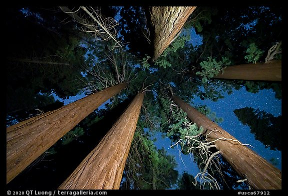 Looking up giant sequoia trees at night, McIntyre Grove. Giant Sequoia National Monument, Sequoia National Forest, California, USA (color)