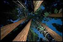 Looking up giant sequoia trees at night, McIntyre Grove. Giant Sequoia National Monument, Sequoia National Forest, California, USA ( )