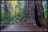 Giant Sequoia trees and cabin, Belknap Grove. Giant Sequoia National Monument, Sequoia National Forest, California, USA ( )