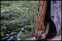 Giant Sequoia trees and Middle Fork Tule River. Giant Sequoia National Monument, Sequoia National Forest, California, USA ( )