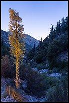Yucca in bloom and San Antonio Creek at dusk. San Gabriel Mountains National Monument, California, USA ( )