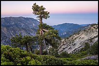 Shrubs and pine tree from Devils Backbone at dawn. San Gabriel Mountains National Monument, California, USA ( )