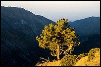 Pine on Backbone ridge at sunrise and Ontario Peak in shadow. San Gabriel Mountains National Monument, California, USA ( )