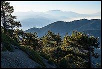 Trees on Backbone ridge with San Gorgiono Mountain in distant haze. San Gabriel Mountains National Monument, California, USA ( )