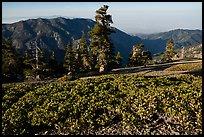 Subalpine shrubs and pine trees on Mount San Antonio. San Gabriel Mountains National Monument, California, USA ( )