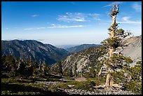 Pine trees on Mt Baldy. San Gabriel Mountains National Monument, California, USA ( )