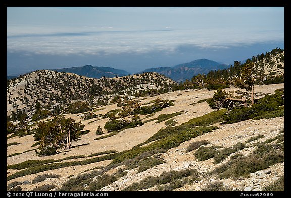 Krummholzed trees below Mt Baldy summit. San Gabriel Mountains National Monument, California, USA (color)