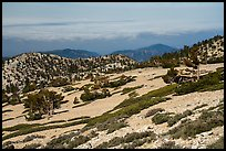 Krummholzed trees below Mt Baldy summit. San Gabriel Mountains National Monument, California, USA ( )