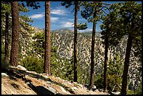 Row of pine trees, Baldy Bowl. San Gabriel Mountains National Monument, California, USA ( )