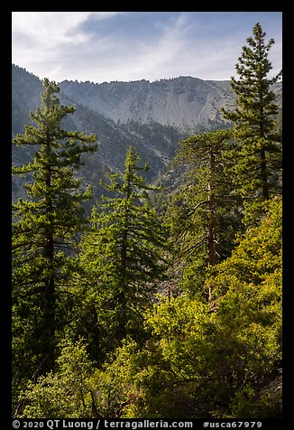 Forest below Baldy Bowl. San Gabriel Mountains National Monument, California, USA (color)