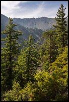 Forest below Baldy Bowl. San Gabriel Mountains National Monument, California, USA ( )