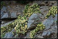 Wildflowers, San Antonio creek. San Gabriel Mountains National Monument, California, USA ( )
