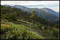 Wildflowers, Mt Baldy, and Iron Mountain. San Gabriel Mountains National Monument, California, USA ( )