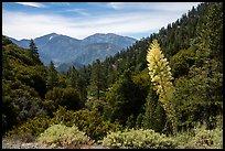 Agave in bloom, Pine Mountain, and Mount San Antonio. San Gabriel Mountains National Monument, California, USA ( )
