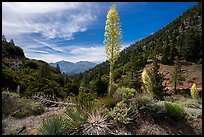 Agaves in bloom, Pine Mountain, and Mount San Antonio from Vincent Gap. San Gabriel Mountains National Monument, California, USA ( )