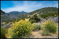 Shrubs in bloom and Strawberry Peak. San Gabriel Mountains National Monument, California, USA ( )
