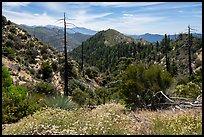 Wildflowers, burned trees, Waterman Mountain. San Gabriel Mountains National Monument, California, USA ( )