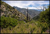 Chaparal with wildflowers and burned trees. San Gabriel Mountains National Monument, California, USA ( )