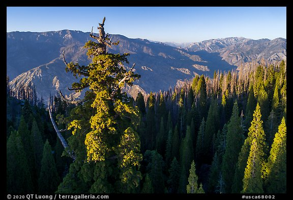 Aerial view of Boole Tree crown and Kings Canyon. Giant Sequoia National Monument, Sequoia National Forest, California, USA (color)