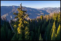 Aerial view of Boole Tree crown and Kings Canyon. Giant Sequoia National Monument, Sequoia National Forest, California, USA ( )