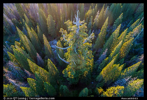 Aerial view of Boole Tree. Giant Sequoia National Monument, Sequoia National Forest, California, USA (color)