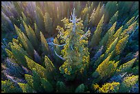 Aerial view of Boole Tree. Giant Sequoia National Monument, Sequoia National Forest, California, USA ( )