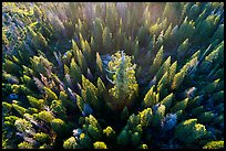 Aerial view of Boole Tree sequoia among pine trees. Giant Sequoia National Monument, Sequoia National Forest, California, USA ( color)