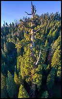 Aerial view of Boole Tree crown. Giant Sequoia National Monument, Sequoia National Forest, California, USA ( color)