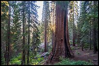 Base of Boole tree, sunrise. Giant Sequoia National Monument, Sequoia National Forest, California, USA ( color)