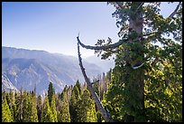 Aerial view of Boole Tree crown and Kings Canyon. Giant Sequoia National Monument, Sequoia National Forest, California, USA ( color)