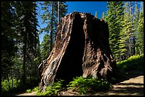 Chicago Stump, Converse Basin. Giant Sequoia National Monument, Sequoia National Forest, California, USA ( color)
