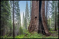 Boole Tree with fire scar, Converse Basin Grove. Giant Sequoia National Monument, Sequoia National Forest, California, USA ( )