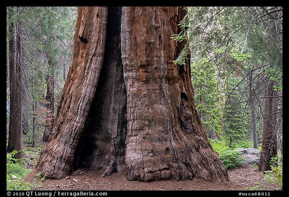 Base of Boole Tree. Giant Sequoia National Monument, Sequoia National Forest, California, USA (color)