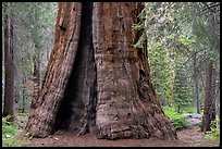 Base of Boole Tree. Giant Sequoia National Monument, Sequoia National Forest, California, USA ( color)