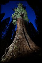 Boole Tree at night. Giant Sequoia National Monument, Sequoia National Forest, California, USA ( color)