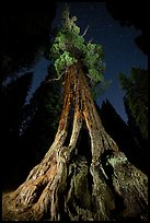 Boole Tree from the base and stars. Giant Sequoia National Monument, Sequoia National Forest, California, USA ( )