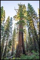 Boole Tree giant sequoia, sunrise. Giant Sequoia National Monument, Sequoia National Forest, California, USA ( )