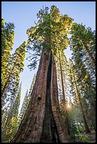 Boole Tree and sunstar. Giant Sequoia National Monument, Sequoia National Forest, California, USA ( color)