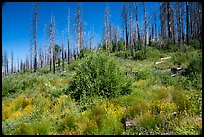 Wildflowers and burned trees. Giant Sequoia National Monument, Sequoia National Forest, California, USA ( color)
