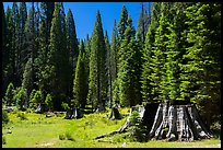 Stump Meadow. Giant Sequoia National Monument, Sequoia National Forest, California, USA ( color)